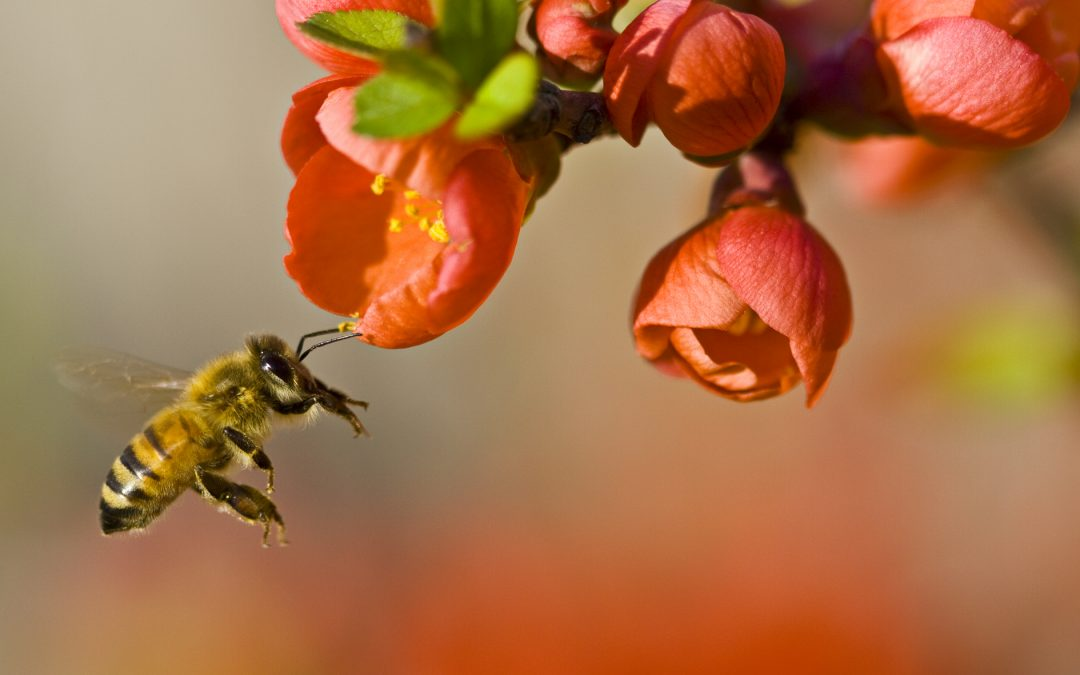A bee prepares to land on a flower in a backyard wildlife garden